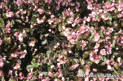 Begonias – Rhizoctonia crown rot