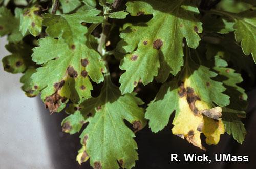 Chrysanthemum – Leaf spot (Septoria)