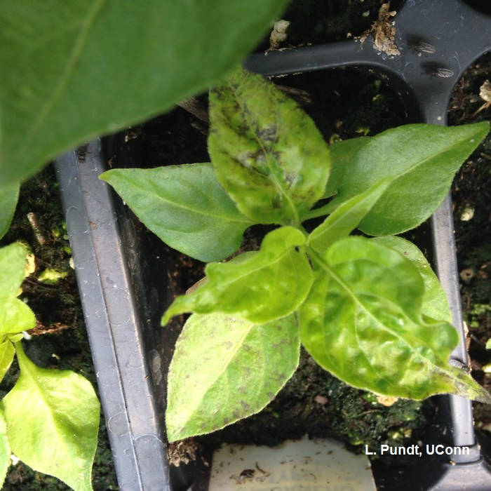 Tobacco mosaic virus on pepper plant