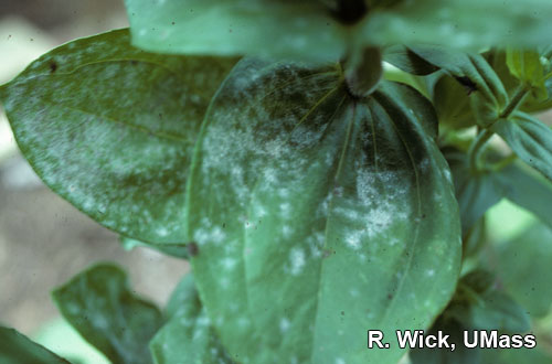 Zinnia – Powdery mildew