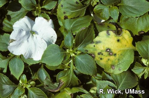 Impatiens – Leaf spot (Pseudomonas syringae)