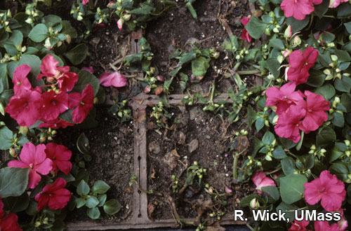 Impatiens – Rhizoctonia crown rot