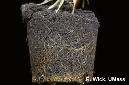 Easter lily – Rhizoctonia root rot