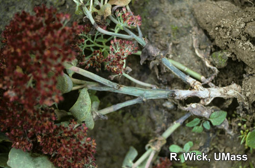Sedum (field) – Stem rot (Anthracnose)