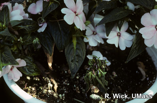 New Guinea Impatiens – Fungus gnat larvae