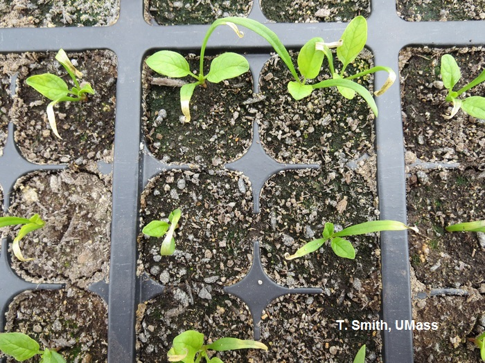Soluble salt injury on spinach transplants