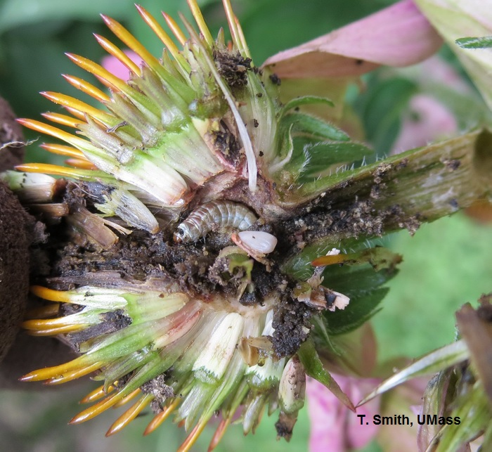 Sunflower moth larva in Echinacea flower