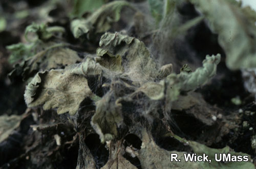 Gerbera – Web blight (Rhizoctonia)