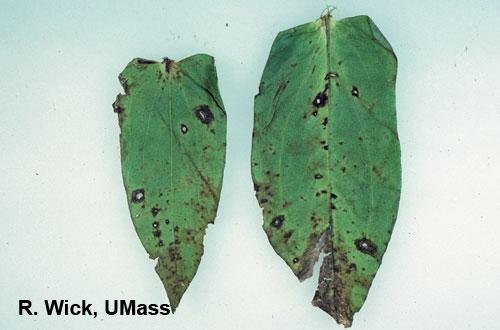 Zinnia – Bacterial leaf spot (Xanthomonas)