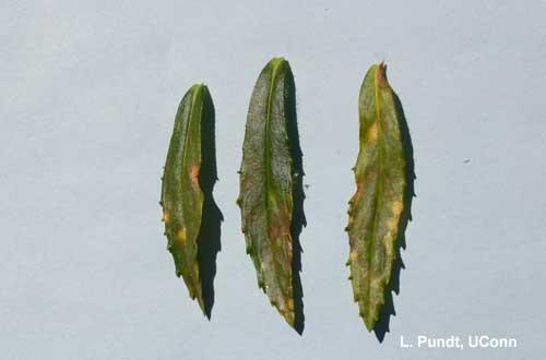 Angelonia Flower Break Virus on angelonia