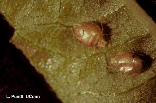 "Aphids –""Aphid mummies"" paratisized by an Aphidius parasitoid"