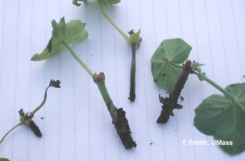 Black leg – geranium cuttings caused by Pythium infection