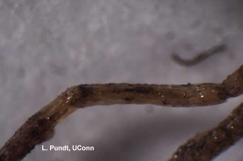 Black Root Rot Spores (Thielaviopsis)