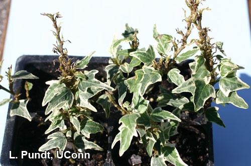 Broad mite injury on ivy