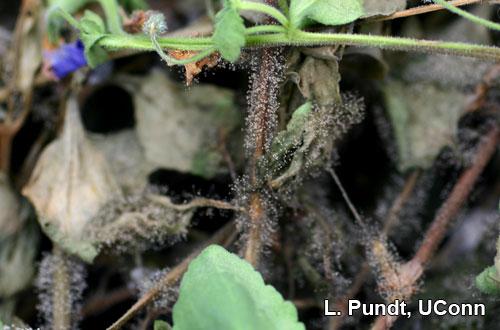 Botrytis stem canker on bacopa