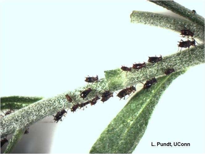 Chrysanthemum Aphids