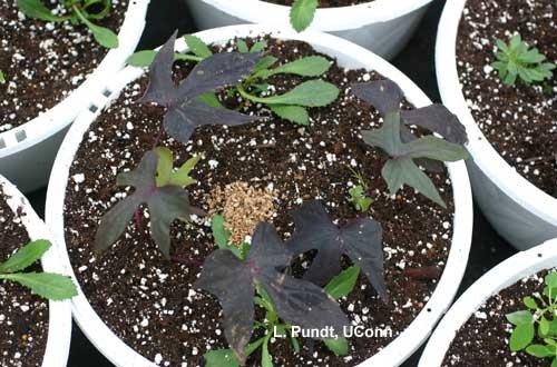 Predatory Mite Neoselus cucumeris Breeding Pile