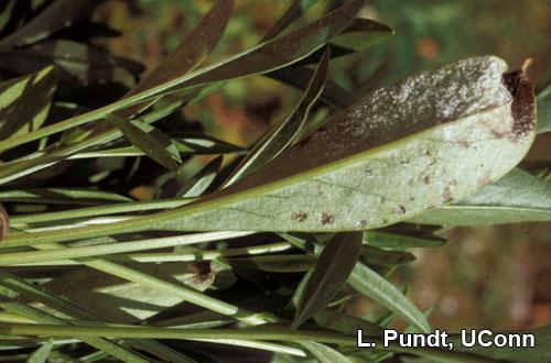 Downy mildew on underside of Coreopsis leaf