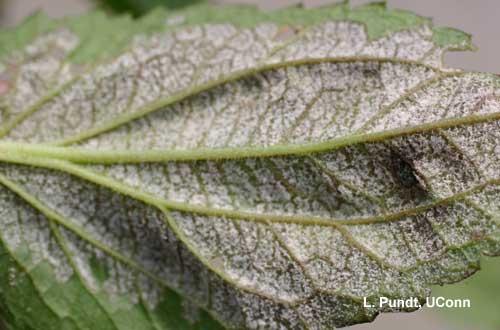 Downy mildew - Rudbeckia
