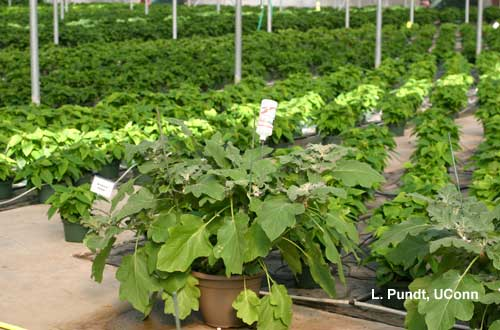 Banker Plant - Eggplant