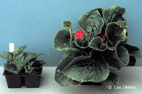 Soluble salt injury on begonia