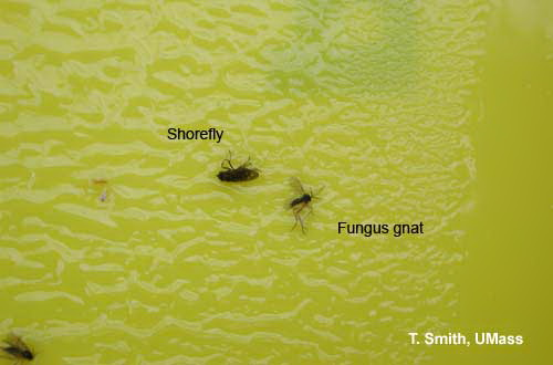 Shore fly and Fungus gnat on sticky card