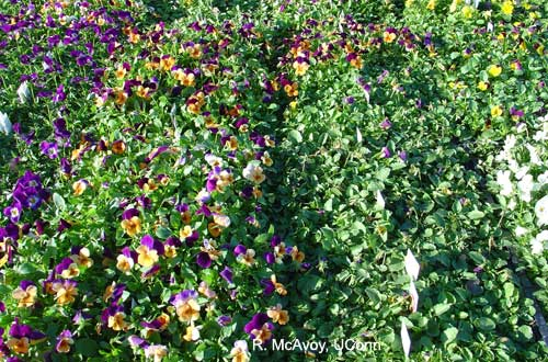 Plant growth regulator: ethephon (Florel) drift on violas