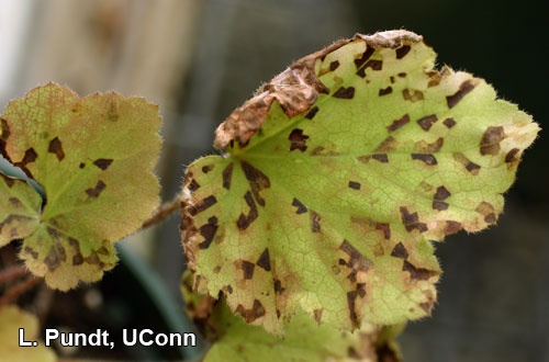 Foliar nematode (Aphelenchoides species) damage-Heuchera