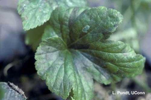 Foliar Nematode injury to Anemone (Aphelenchoides species)
