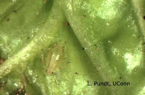 Green Peach Aphid on Spinach Leaf