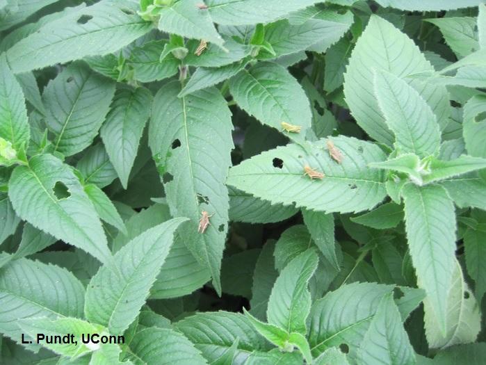 Grasshoppers on perennials