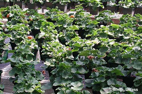 "Soluble salt and ammonium injury - wilted leaves ""flagging"" on geraniums"
