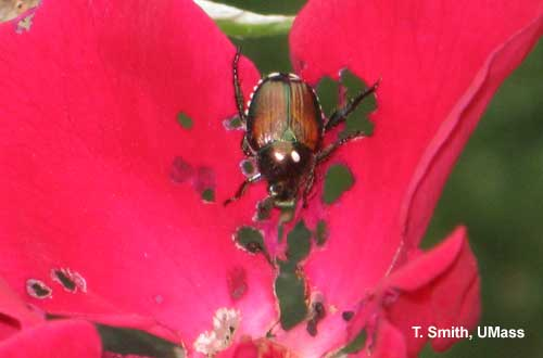 Japanese Beetle on Rose