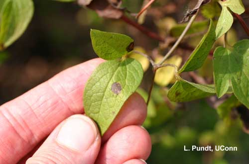 Ascochyta clematidina Leaf Spot and Wilt - Clematis