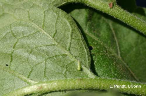 Leafhopper – Potato leafhopper