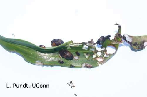 Lily Leaf Beetle Larvae