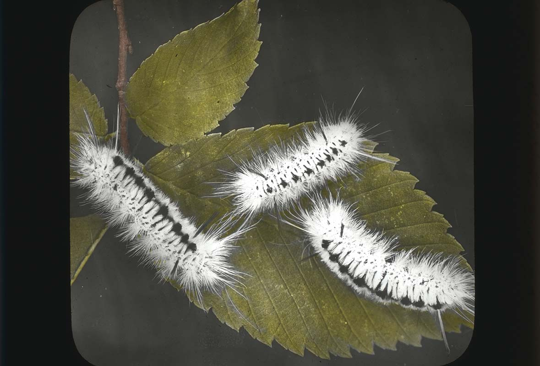 Halinidota caryas Larvae