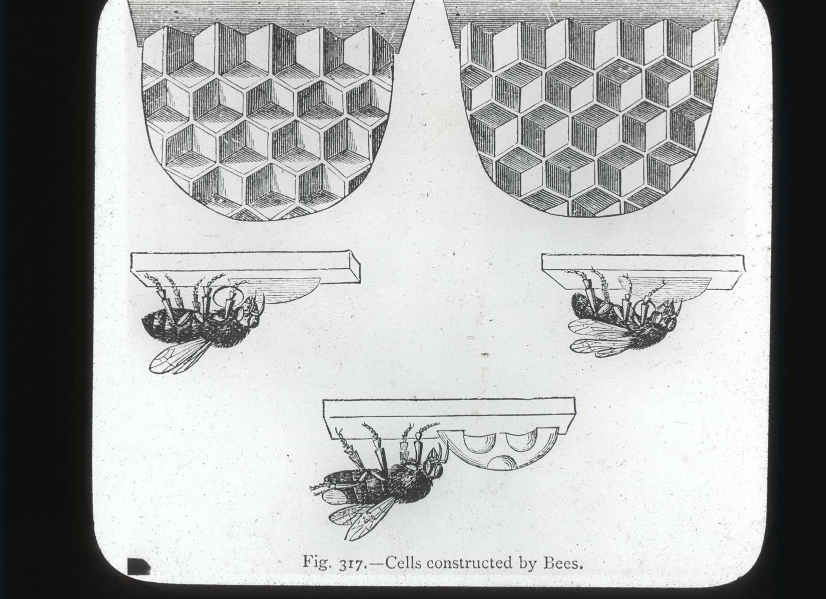 Cells Constructed by Bees