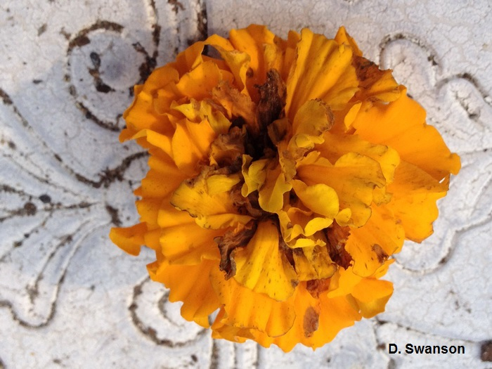 Marigold flower damaged by sunflower moth caterpillar