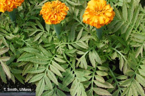 Iron toxicity on marigold