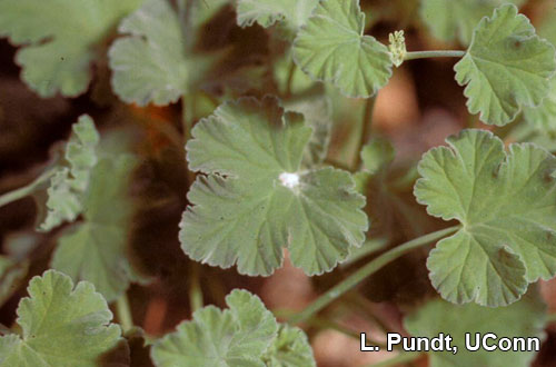 Mealybug on Scented geranium