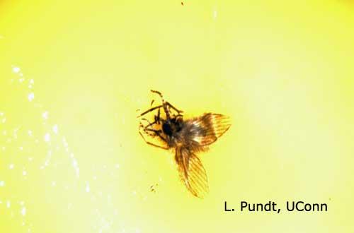 Sticky Card - Moth fly