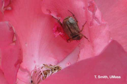 Oriental Beetle on Rose