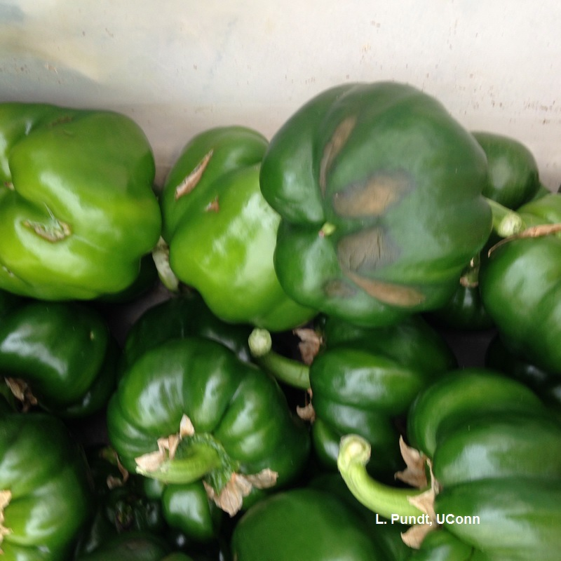 Greenhouse peppers - Blossom end rot