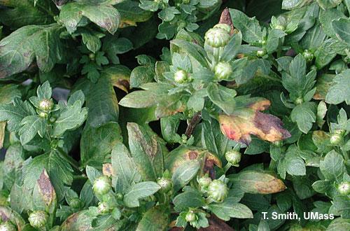 Pseudomonas cichorii - garden mums