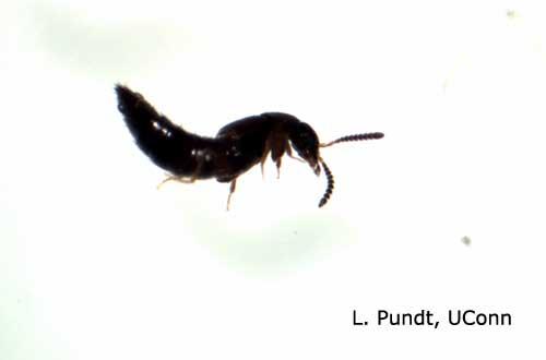 Rove Beetle Adult