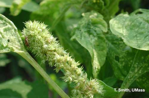 Tarnished Plant Bug on Amaranth (Field Cut Flower)