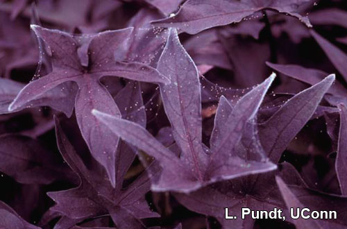 Two spotted spider mite – Webbing