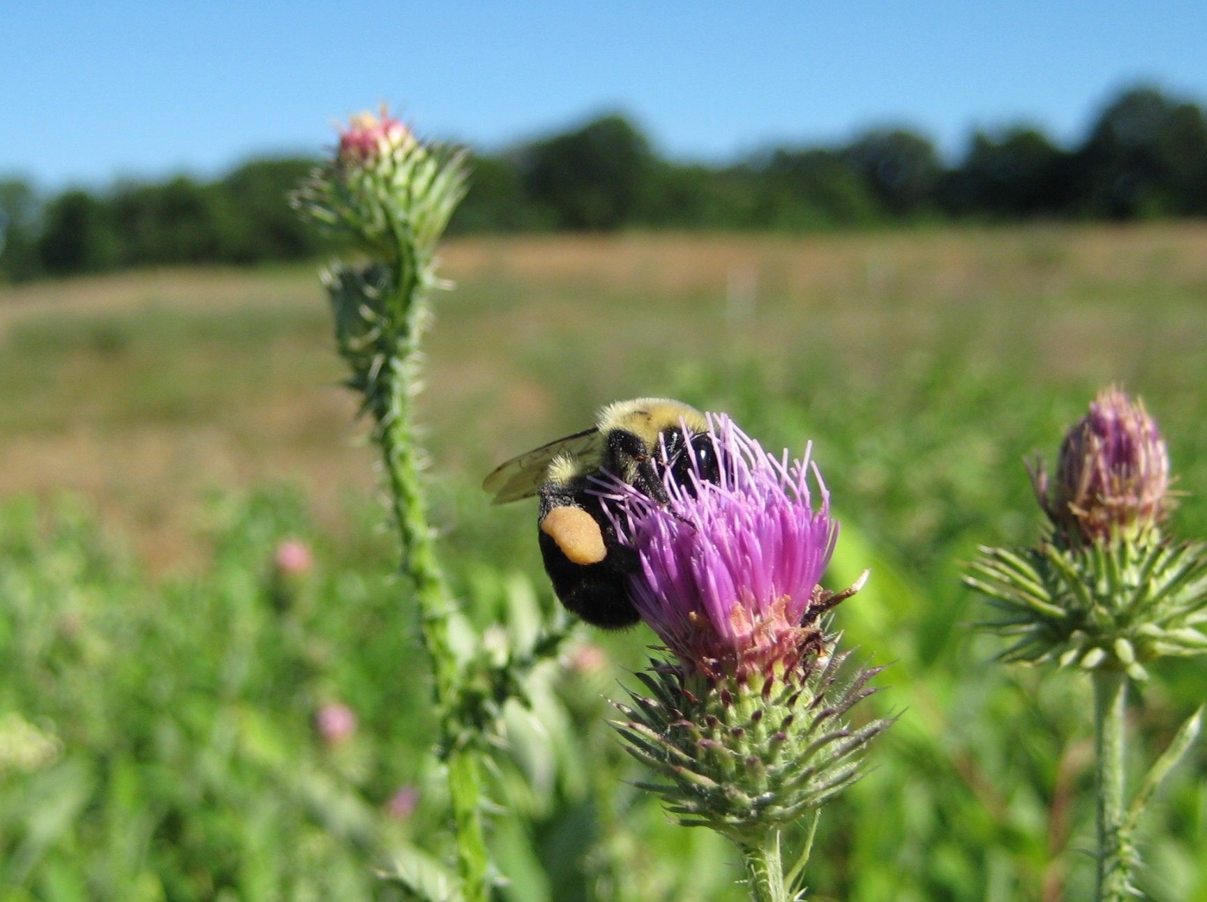 Managing Landscapes for Pollinators