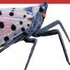 SLF, Invasive insect